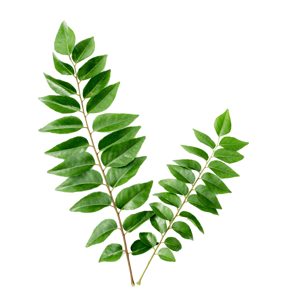 Curry leaf png 4 » PNG Image