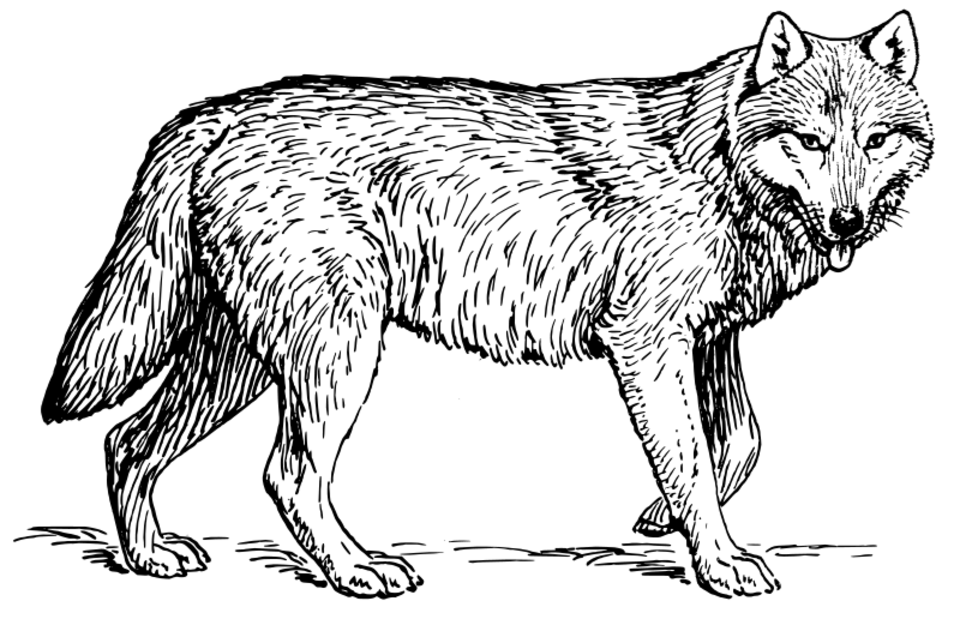 Dessin Loup Png Png Image