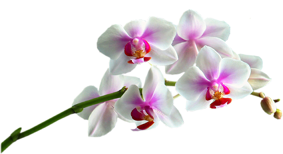 Flores Sin Fondo Png 1 Png Image