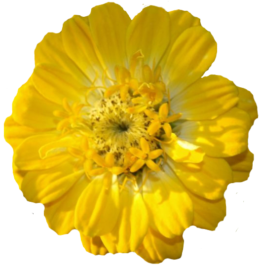 Flores Sin Fondo Png 3 Png Image