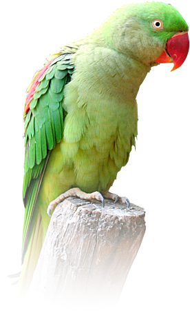 Indian parrot png 2 » PNG Image