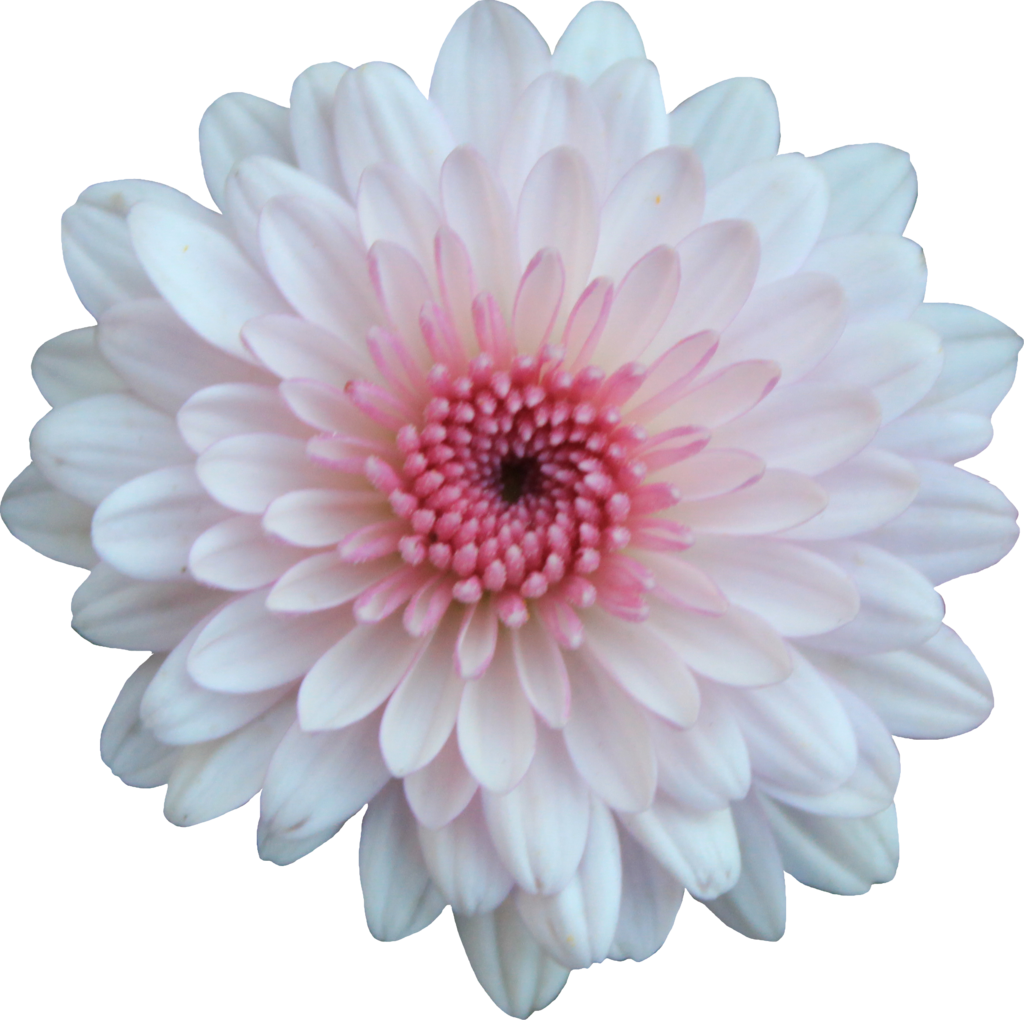 Pink And White Flowers Png 1 Png Image