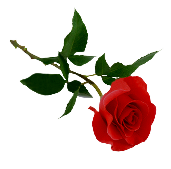 Rose Rouge Png Png Image
