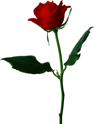 Rose Rouge Png 2 Png Image