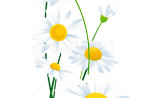 daisy png transparent 3