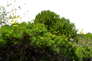 ground cover plants png 2