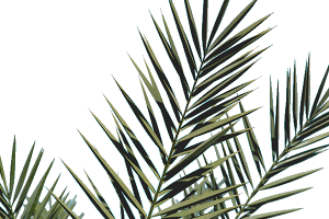 palm frond png 2