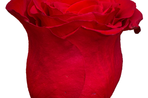 rose transparent png 1
