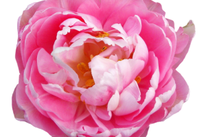 rose transparent png 3